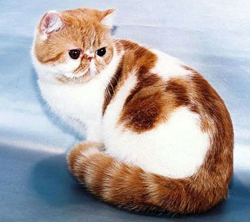 кошки окрас с фото экзотической