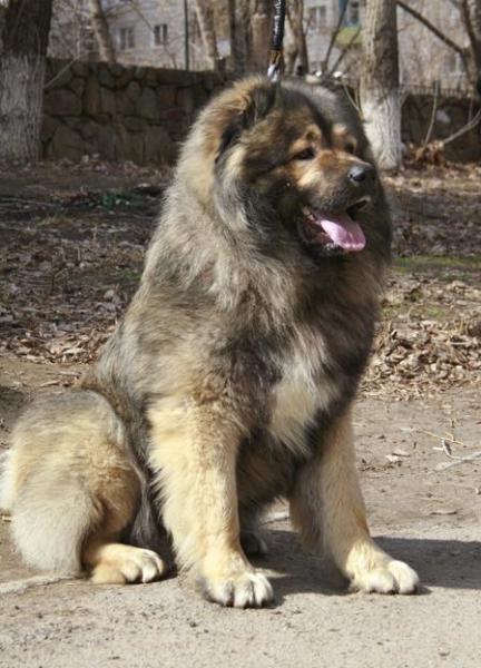 картинки кавказской овчарок щенки