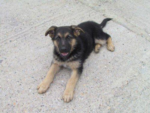 фото щенка немецкой овчарки 3 месяца