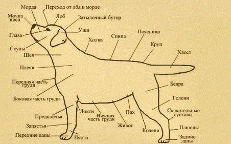 лабрадор фото и описание породы