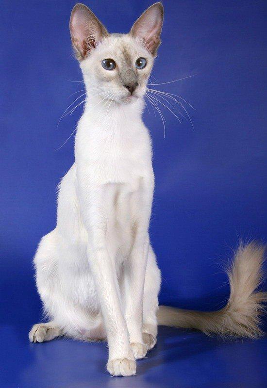 кошка балинезийская фото