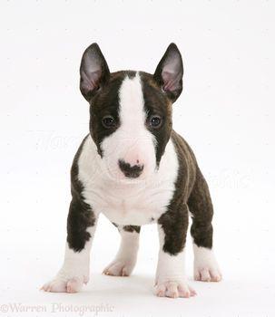 фото щенки бультерьера