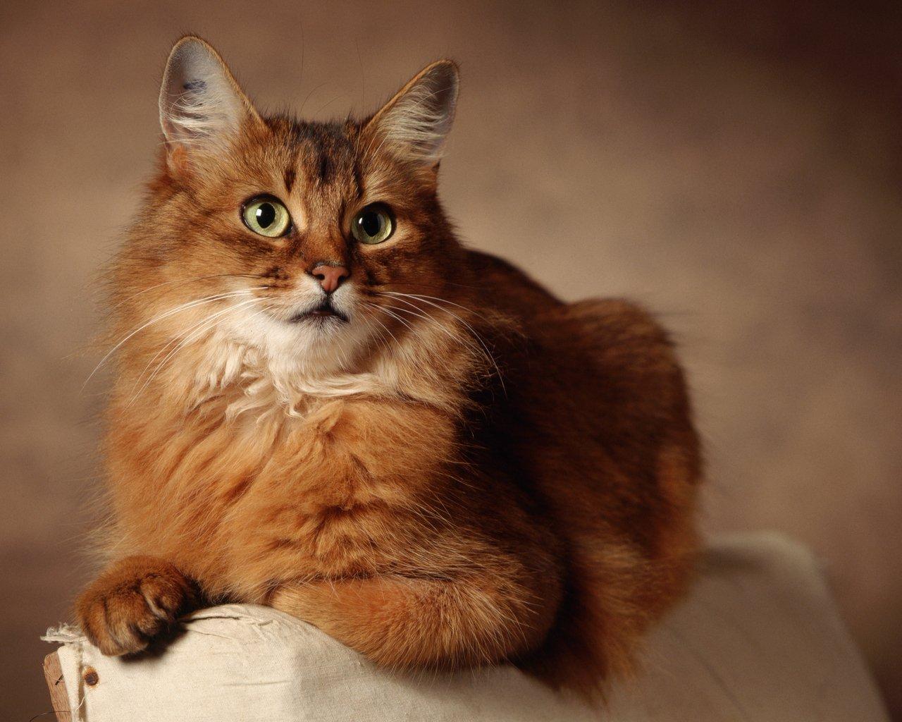 Кот похожий на лису