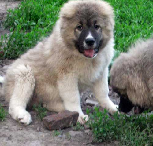 щенки 1 месяц кавказской овчарки фото