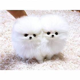 Два белых щенка померанского шпица