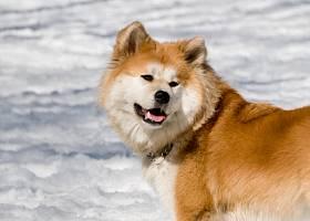 Акита-ину - описание породы и фото, кормление и уход, дрессировка, выбор щенка и содержание