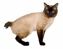 Меконгский бобтейл - описание и фото породы, стандарты, выбор и покупка котят Меконгского бобтейла, советы по кормлению и содержанию породы Меконгский бобтейл