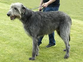 Ирландский волкодав: фото, описание и обзор породы