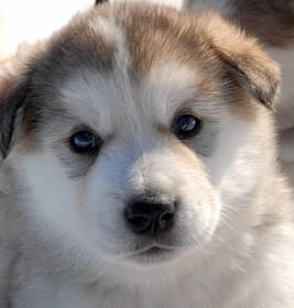 Аляскинский маламут - фото и описание породы, питание и уход, выбор щенка и цены, дрессировка и содержание аляскинских маламутов