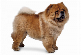 Чау-чау - фото и описание породы, как выбрать щенка, цены, уход и питание, дрессировка и содержание чау-чау