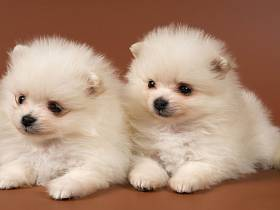 Два щенка померанского шпица
