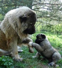 Кавказская овчарка - фото и полное описание породы, выбор щенка и цены, питание, уход и содержание