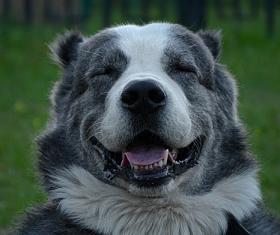 Алабай улыбается