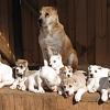 Алабай со щенками