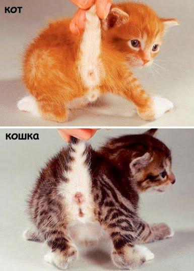 Котенок как определить пол