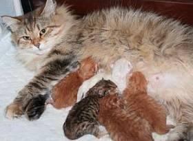 Беременность и котята сибирской кошки