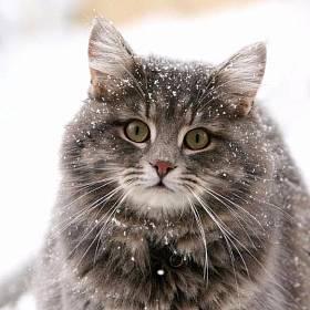 Характер и поведение сибирской кошки