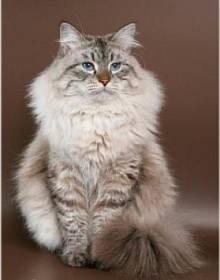 Виды и метисы  сибирской кошки