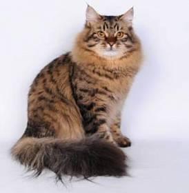 Шерсть и окрасы сибирской кошки