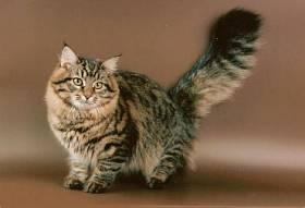 Уход и содержание сибирской кошки